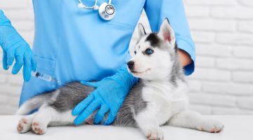 Professional-vaccinating-little-husky-puppy