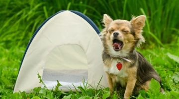awning-chihuahua-dog-sitting-near-camping-tent-at-sunny-meadow