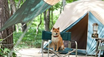 is-shiba-inu-dog-good-for-camping